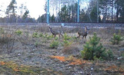 Kamery – fotopułapki obserwują zachowania zwierząt na trasie Rail Baltica